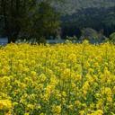 春・菜の花と北竜湖