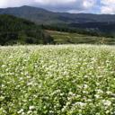秋・白い花咲く蕎麦畑