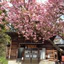 春・外湯「滝の湯」と桜