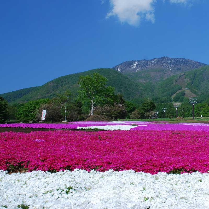 旬花咲く黒姫高原・芝桜
