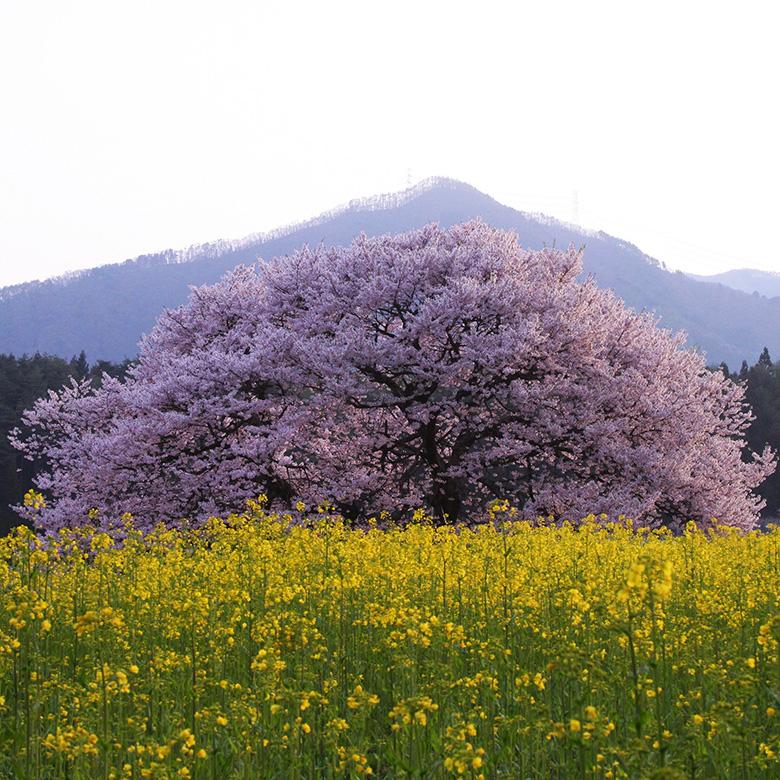 信州高山・五大桜